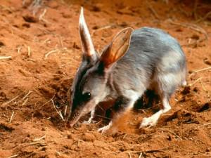 Le bilby remplace le lapin qui porte les oeufs en chocolat aux enfants en Australie