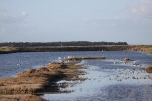 Oiseaux réserve de Lillau des Niges, île de Ré